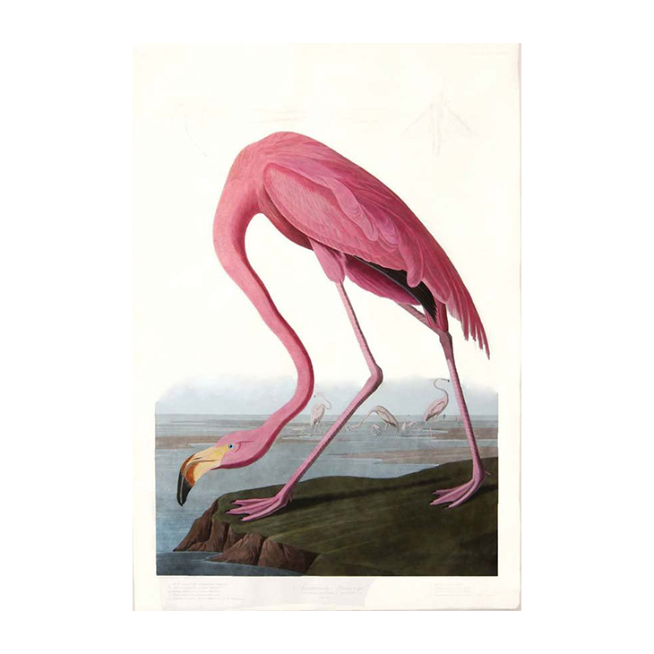 American Flamingo, John James Audobon