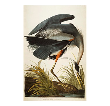 Great Blue Heron, John James Audobon