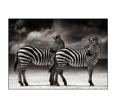 Zebras, Nick Brandt