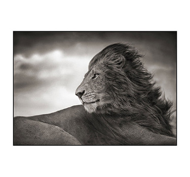 Lion Before The Storm – Close Up, Nick Brandt, #3 Of 3