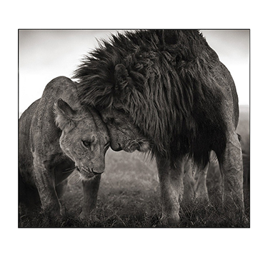 Lions Head To Head, Nick Brandt, #2 Of 3